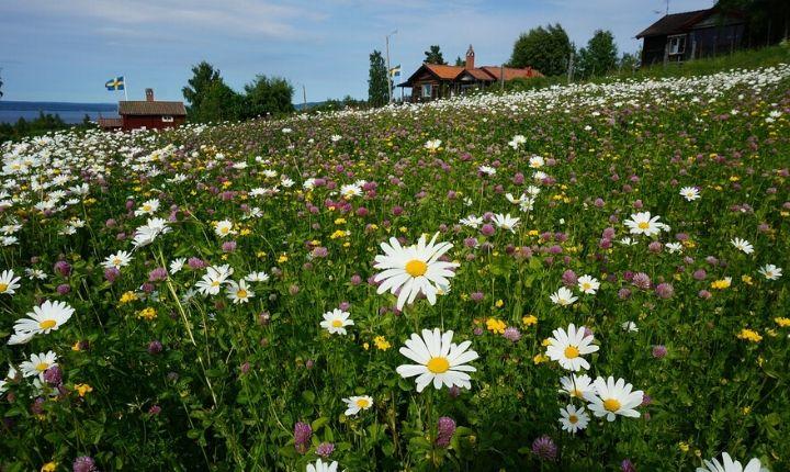 blomsteräng Tällberg